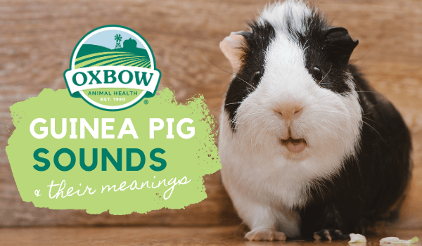 Oxbow Animal Health, Can I Use Old Towels For Guinea Pig Bedding