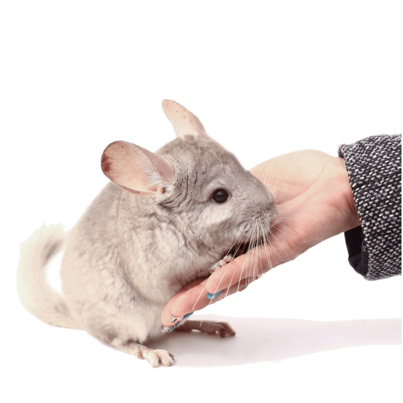 The 411 on Chinchillas and Chinchilla Care