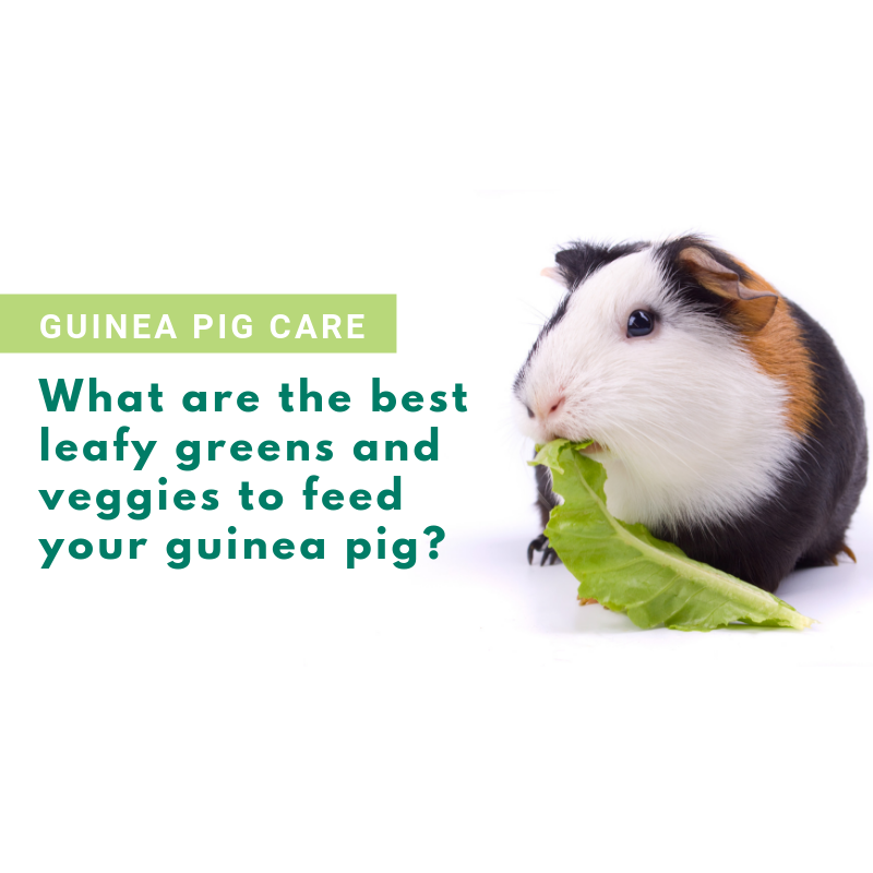 What Are the Best Vegetables and Leafy Greens for Guinea Pigs?