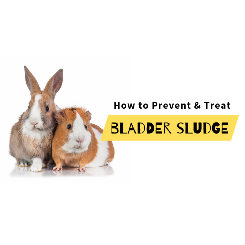 Bladder Sludge in Rabbits and Guinea Pigs