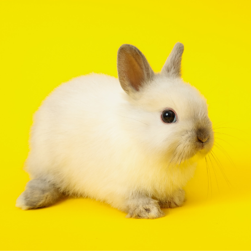 Oxbow Animal Health How To Clean A Rabbit S Scent Glands